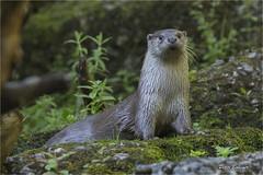European otter (Fisherman01) Tags: zoozrich europischerfischotter eurpeanotter