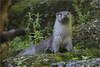 European otter (Fisherman01) Tags: zoozürich europäischerfischotter eurpeanotter