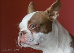 Lyla's Portrait (strjustin) Tags: portrait dogs beautiful animals canon 60mm 60d