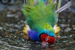 Gouldian Finch Bath (MarksGonePublic) Tags: bath finch gouldian bloedelconservatorybloedel conservatoryvancouver