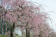 20160305-DSC_1931.jpg (d3_plus) Tags: park street sky plant flower nature festival japan garden drive nikon scenery plum bloom 日本 28105mmf3545d odawara nikkor 花 ume 自然 kanagawa 空 touring 風景 植物 ドライブ 公園 神奈川 28105 景色 神奈川県 28105mm 祭り 路上 umeblossom ツーリング 小田原 zoomlense ニコン ズーム ガーデン 28105mmf3545 d700 281053545 kanagawapref nikond700 aiafzoomnikkor28105mmf3545d 28105mmf3545af aiafnikkor28105mmf3545d