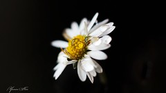 Amis du soir, bonsoir (YᗩSᗰIᘉᗴ HᗴᘉS +6 500 000 thx❀) Tags: flower macro fleur 50mm europa flickr belgium ngc drop explore 500 goutte namur hens yasmine fondnoir pâquerette 500fav iamflickr canoneos750d hensyasmine