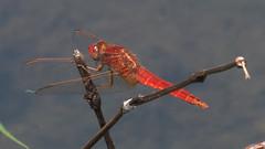 06 lib rossa