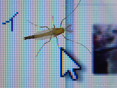 Chironomidae (Shiori Hosomi) Tags: japan tokyo insects april diptera 2016    chironomidae  23  entomon