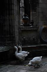 Barcelona geese