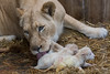 DSC_3062WM (Linda Smit Wildlife Impressions) Tags: cats white nature animal cat mammal photography big nikon outdoor african wildlife birth lion d750 cubs endangered lioness bigcats cecil carnivore lioncubs givingbirth