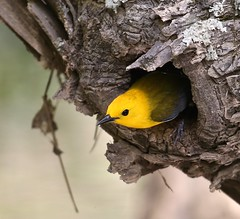 Prothonotary Warbler (Mary Sonis) Tags:
