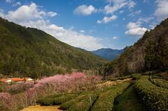 20160306-R0011914 (Kay's...) Tags: cherryblossom sakura   wuling wulingfarm