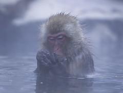 Japan (richard.mcmanus.) Tags: japan funny counting gettyimages hotsprings mcmanus macaques honshu japanesemacaque yudanaka snowmonkeys