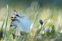 Good morning (evisdotter) Tags: light macro nature bokeh feather bud blsippa sooc fjder coth5