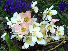 Christrosen zu Ostern (swetlanahasenjäger) Tags: ngc doublefantasy coth saariysqualitypictures fleursetpaysages