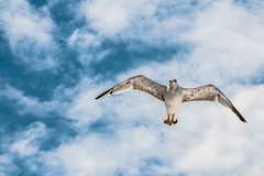 The Way Things Go (massimiliano) Tags: trip blue sky clouds flying seagull gabbiano thewaythingsgo