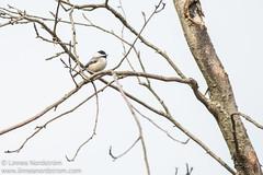Chickadee in a tree