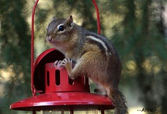 Chester stops to pose for a photo before diving into the bird feeder. (--Anne--) Tags: cute nature animals wildlife birdfeeder seeds chipmunk stealing chipmunks