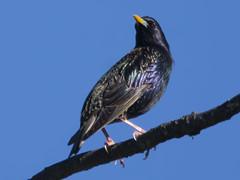 Common Starling (Sturnus vulgaris) (uncle.dee9600) Tags: bird nikon starling telephoto sturnusvulgaris commonstarling nikond7200