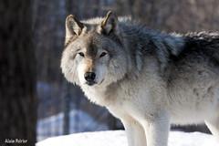Loup Gris -TimberWolf (alainpoirier48) Tags: parcomega timberwolf omegapark loupgris alainpoirier