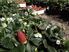 Collint maduixes (ancoay) Tags: red primavera spring rojo strawberry vermell planting fresa plantacin maduixa canon600d ancoay