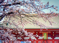 welcome! Tokyo Spring (mirei24) Tags: pink japan cherry landscape temple sensoji tokyo spring flickr blossoms pastels   cherryblossoms  asakusa         sensojitemple     r
