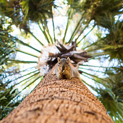 Squirrel (Jorge Ibarra L.) Tags: animal rodent squirrel eating palmtree palma ardilla comiendo roedor