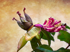 Last Dance (done by deb) Tags: digitalart peony digitalpainting peonies deadflowers texturedphotographs digitalflowerpainting