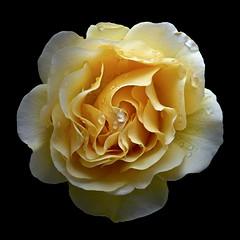 Rose Y (Pixel Fusion) Tags: flower macro nature rose flora nikon d600
