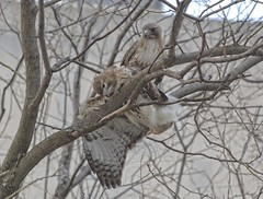 Tragedy (Goggla) Tags: park new york nyc red urban male bird female dead pond rat chinatown adult hawk manhattan wildlife tail raptor poison collect rodenticide goglog