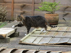 The supervisor arrives (wallygrom) Tags: england cat oliver westsussex angmering merryfield