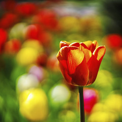 Tulpenbokeh (blichb) Tags: closeup bayern deutschland bokeh blumen ammersee frhling tulpen 2016 fnfseenland offenblende herrschingamammersee blichb sonya7rii zeissbatis1885