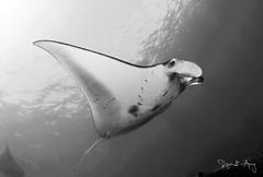 Ray (Randi Ang) Tags: bali fish canon indonesia photography eos ray underwater angle wide dive scuba diving fisheye ang 15mm manta nusa randi 6d nusapenida penida mantapoint