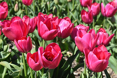 Bright pink tulips (cklx) Tags: red holland yellow spring tulips may tulip april brightcolors tulpen noordwijkerhout tulp lisse 2016 bollenstreek hillegom