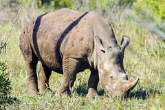 White or Wide? (forastico) Tags: rinoceronte hluhluwe d3200 sudafica hluhluweimfolozinationalpark rinocerontebianco forastico