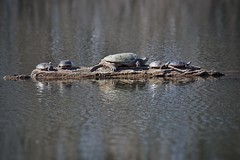 Sun seekers on a log (beyondhue) Tags: sun lake ontario canada water relax spring log mud snapping turtle painted wildlife ottawa catch beyondhue