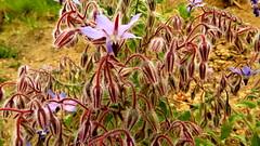Bourrache officinale (bernard.bonifassi) Tags: bb088 06 2016 nice bourracheofficinale fleur alpesmaritimes