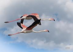 Flamenco comn (Phoenicopterus roseus. Pallas, 1811) (EcoFoco juanma.coria) Tags: espaa naturaleza fauna andaluca aves andalucia otoo marisma vuelo doana nuves humedal parquenatural flamencocomn islamayor lapuebladelro vetalapalma phoenicopterusroseuspallas1811