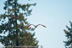 _DSC4801.jpg (orig_lowolf) Tags: usa dog nature oregon nikon flickr osprey lakeoswego turkeyvulture d300s sigma150500mmf563afapodgoshsmtelephotozoom