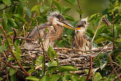 Great Heron Chicks-5110 (Don Burkett) Tags: nature birds animal fauna canon florida outdoor wildlife chicks southflorida dlsr wakodahatcheewetlands greatheron donburkett 100400mii ef100400f4556liiusm dtburkett