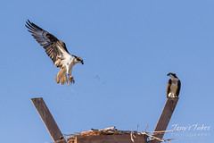 Male Osprey tosses grass toward its nest - Sequence - 8 of 19