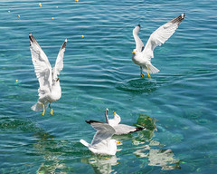 Raining Popcorn... (ragtops2000) Tags: show nature crazy corn feeding time gull pop lakemichigan excitement raining mackinacisland entertaining frenzy ringbilled