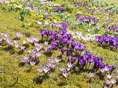 20160320_132117 (HAKANU) Tags: flowers blue white field yellow garden countryside early spring colours blossom sweden lawn crocus smland snowdrops summerhouse springtime