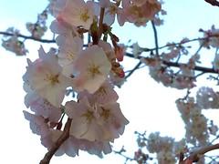 Cherry Blossoms (d1pinklady) Tags: sunset plane cherry washingtondc dc washington memorial blossoms basin wdc jefferson tidal cherryblossomfestival