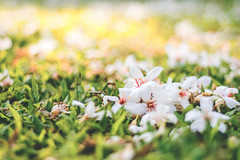 Tung Blossom, Nantou. Taiwan  ( (Morris)) Tags: flower nikon ngc taiwan firefly nantou  tungblossom