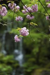 Sakura (Scott DeSelle) Tags: tree canon portland cherry japanesegarden sakura acratech reallyrightstuff rrs eos7dmarkii