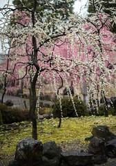 20160229-095908_5K_80 (pya) Tags: kyoto 京都 camellia plumblossoms jonangu 梅花 茶花 城南宮 椿花 weepingplumblossoms