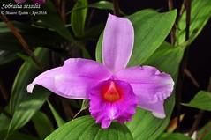 Sobralia sessilis (Mauro Rosim) Tags: orchid flower flor terrestre terrestrial orqudea