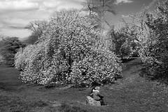 Spring Fling I_bw (Joe Josephs: 2,650,890 views - thank you) Tags: nyc newyorkcity travel centralpark manhattan streetphotography photojournalism centralparknewyork urbanlandscapes travelphotography urbanparks urbannewyorkcity joejosephs joejosephsphotography