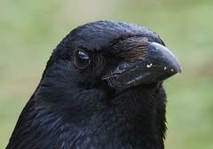 Portrait of a carrion crow (corvus corone) (pierre_et_nelly) Tags: corneille crow corvid cornella corvus corvidae carrioncrow corvuscorone cornacchia gralhapreta rabenkrhe corneillenoire aaskrhe cornejanegra cornacchianera cornellanegra
