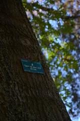 Bark and sign - Quercus palustris - Pin Oak tree from 1947 at the Ballarat Botanical Gardens (avlxyz) Tags: sign oak australia victoria botanicalgardens redoak ballarat fb2 quercuspalustris ballaratbotanicalgardens swampspanishoak pinkoak
