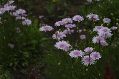 _DSC2100 (Osamu1965) Tags: flower japan zeiss garden spring sony contax jp   okayama     a7m2  carlzeissvariosonnart2870mmf3545mm