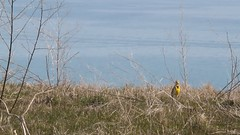 Western Meadowlark singing (Rita Wiskowski) Tags: lake bird grass yellow wisconsin video spring singing lakemichigan migration songbird oakcreek milwaukeecounty lifebird carrollville