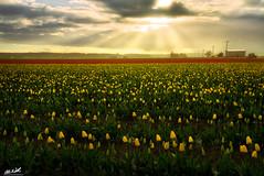 New Beginnings (Chris Williams Exploration Photography _) Tags: flowers sunset sunlight washington tulips pacificnorthwest thunderstorm skagitvalley tulipfestival lightrays godrays skagitriver chriswilliams induro fstoppers sonya7r skagitrivervalleytulipfestival